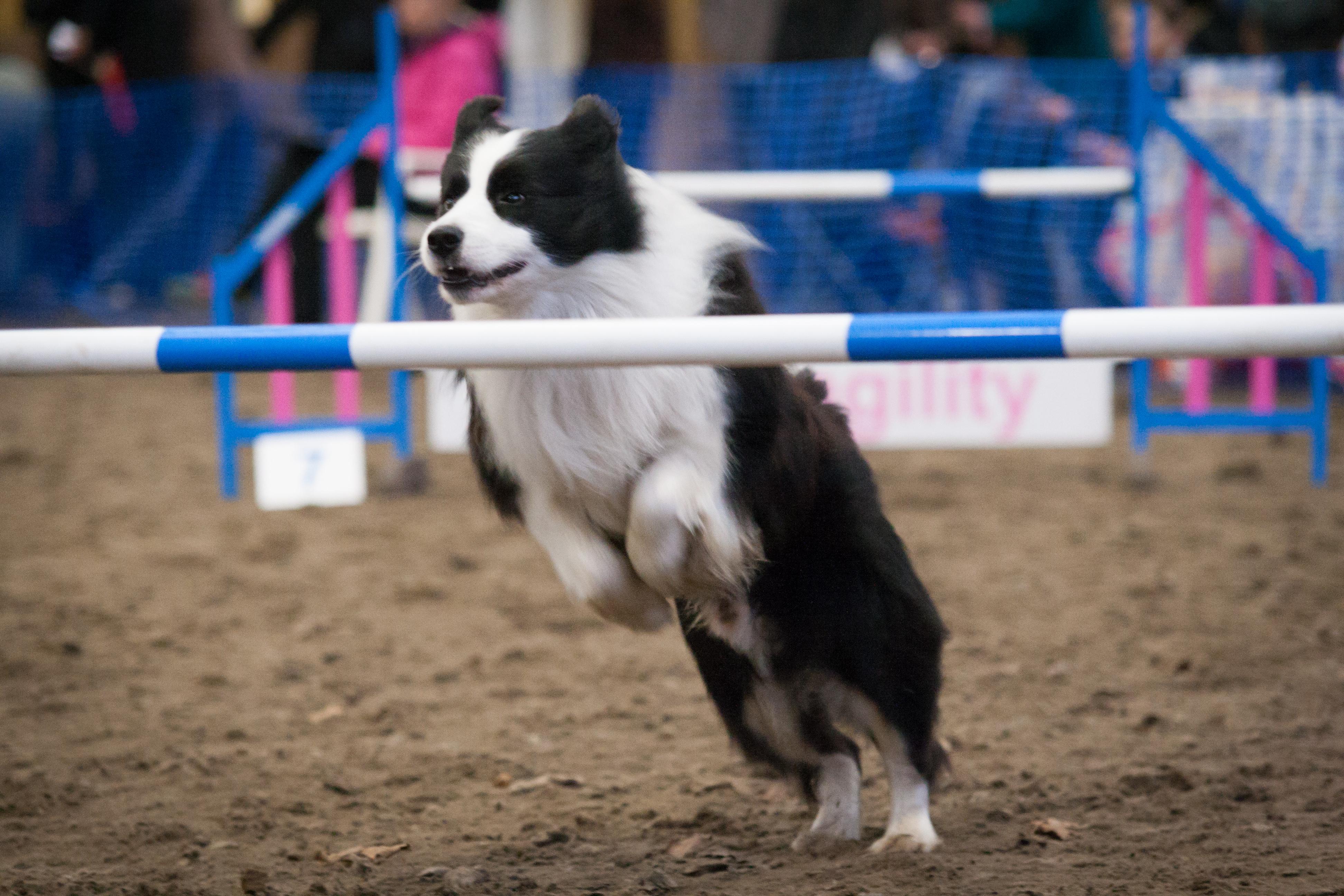 Inspire Agility Dog