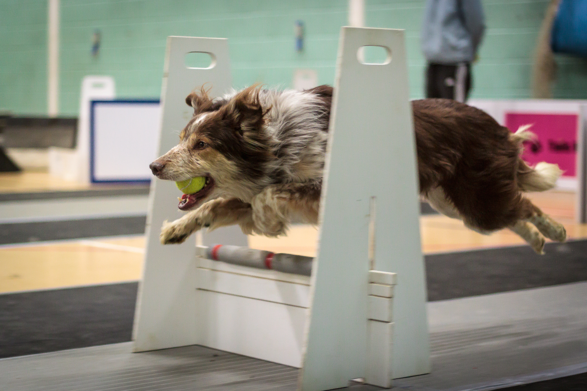 flyball dog chatham