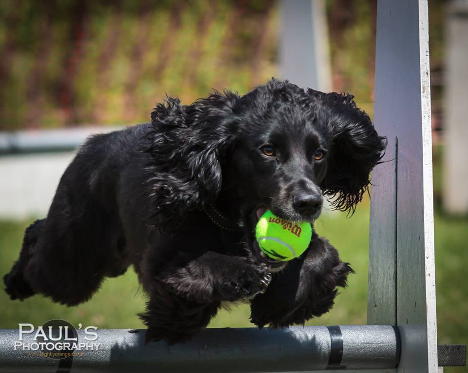 Wilson the flyball dog