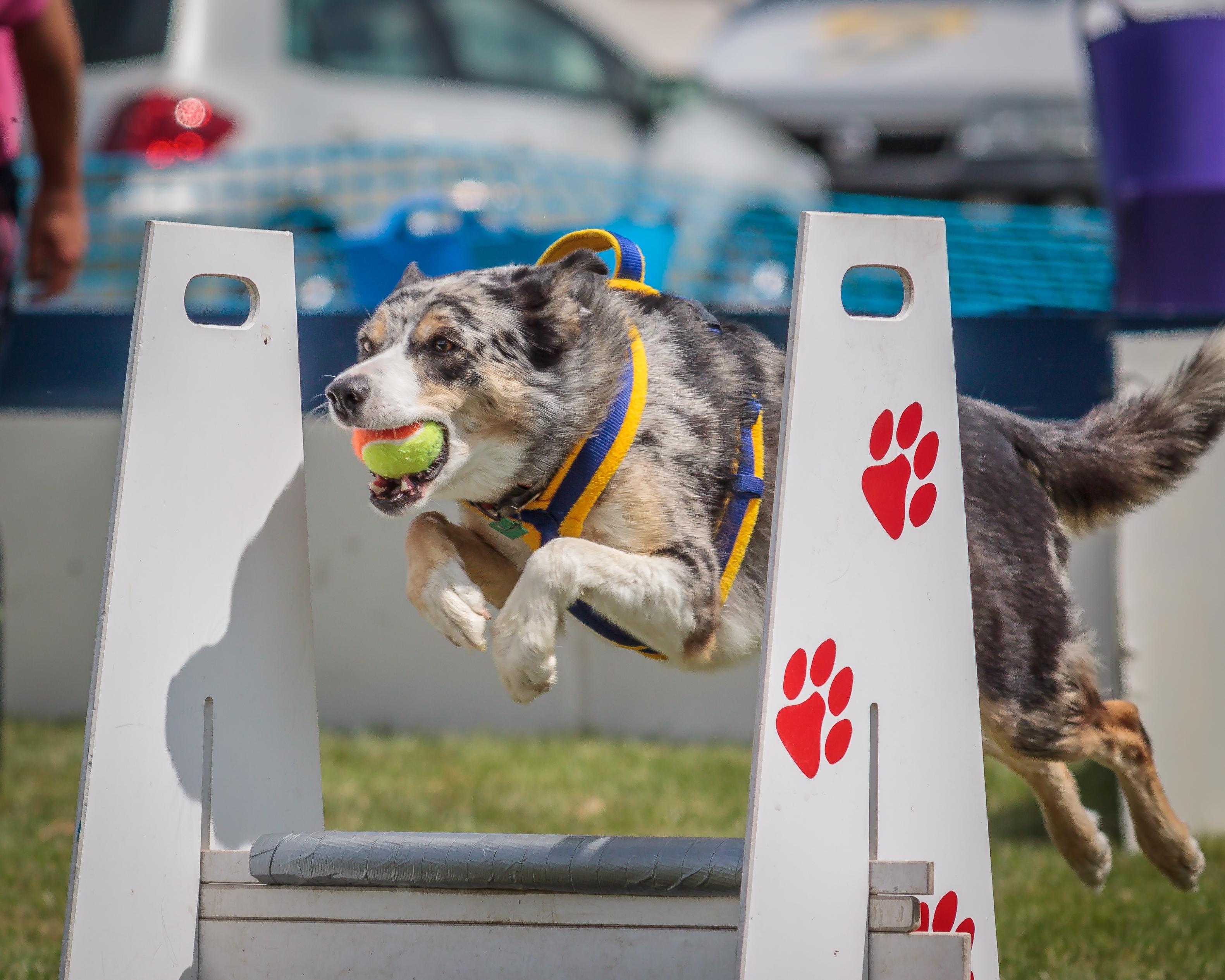 Ramsden Flyball dog