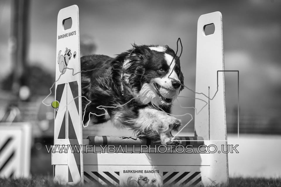 flyball dog jumping