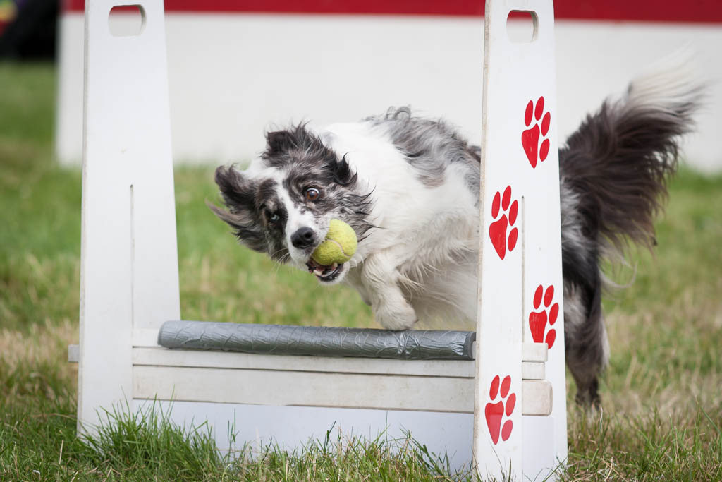 knebworth flyball dog