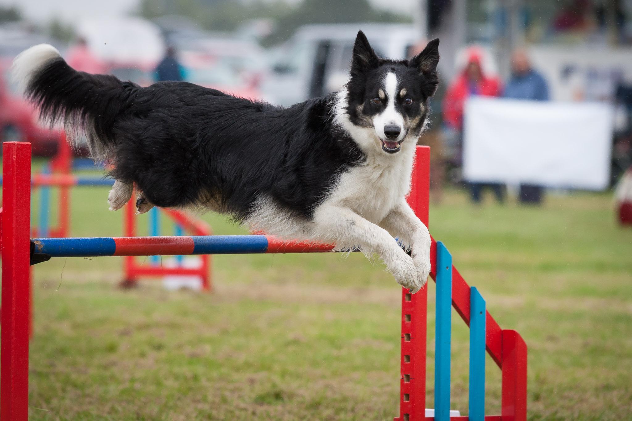 Eastbourne Agility Dog
