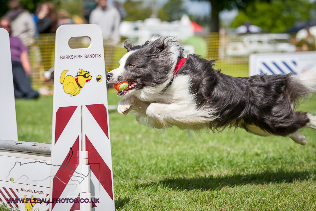 sussex flyball dog