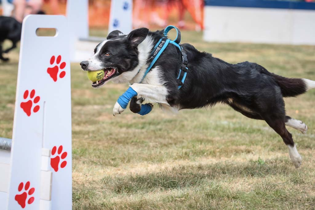 Flyball dog Imber